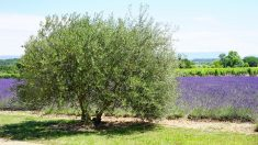 Des touristes agacés par les cigales en Provence!