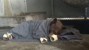 Les brûlures subies par deux ours dans des incendies de forêts sont traitées avec des peaux de tilapia