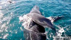 Un banc de dauphins sauve la vie d'un baleineau à bosse en protégeant la maman