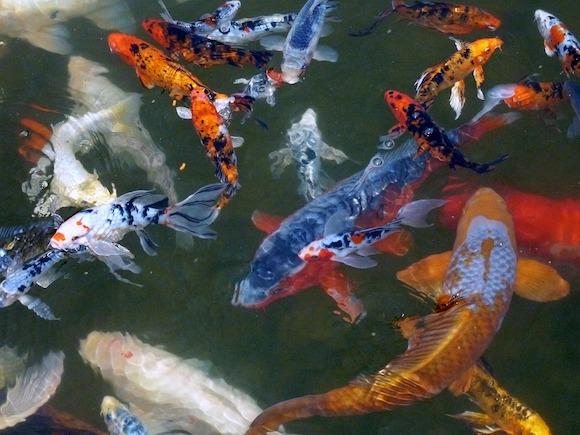 Dans un état d'ébriété avancé, ils pêchent des carpes à l'épuisette dans une jardinerie