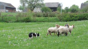 Aisne: Une nouvelle façon de tondre le gazon, une association remplace les tondeuses par des moutons