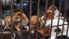 Vietnam : les habitants de Hanoï priés de ne plus manger de la viande de chien