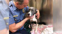 Le pit-bull mélangé qui avait été trouvé submergé dans une cage par une passante est maintenant «aimé, en sécurité et heureux!»