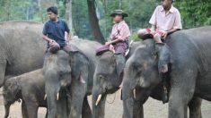 La demande du marché de la médecine chinoise cause une réduction de la population d'éléphants d'Asie en Birmanie