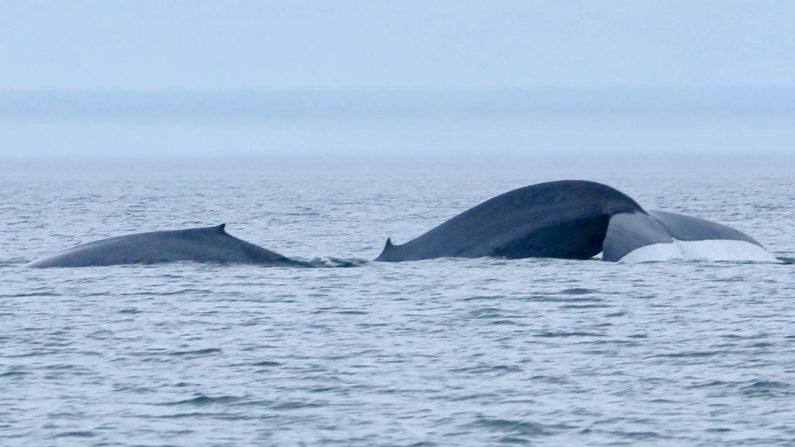 Québec: un baby-boom inespéré chez les baleines bleues du fleuve Saint-Laurent