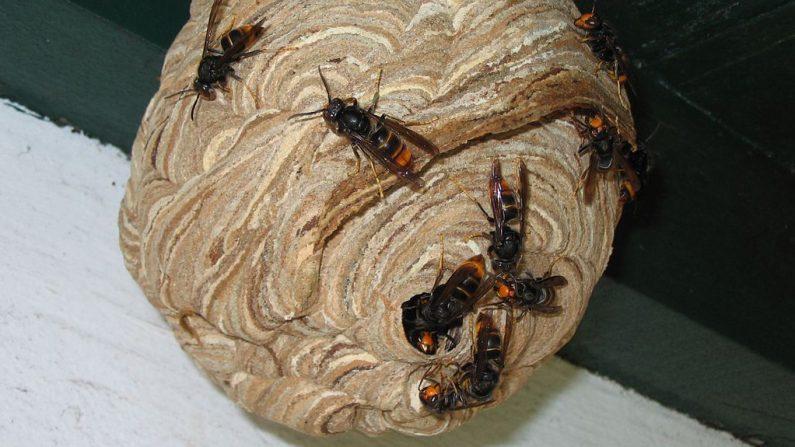 Manche: un nouveau décès causé par l'invasion du frelon asiatique