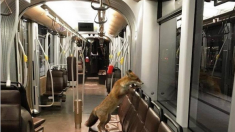 Un renard se balade dans un tram de la Stib à Bruxelles…