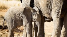 Braconnage: les éléphants d'Asie tués pour leur peau