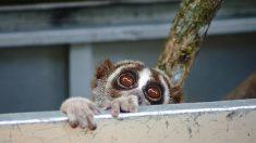 20 loris lents réhabilités dans la nature par des défenseurs de l'environnement en Indonésie
