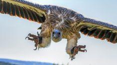 Dans le Tarn et l'Aveyron, des bovins vivants ont été attaqués et dévorés par des dizaines de vautours