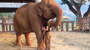 Un éléphant adulte s'endort comme un bébé quand la gardienne commence à chanter sa berceuse préférée