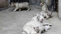 Japon : un gardien de zoo tué par un tigre blanc