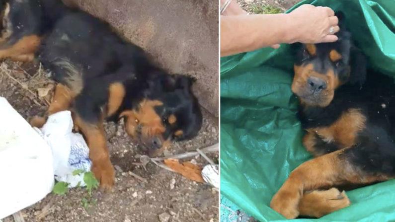Une jeune chienne laissée pour morte fait pleurer ses sauveteurs lors de ses premiers pas, elle est «si heureuse»