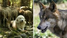 Drôme : un loup tué par des chiens de bergers dans la Réserve des Hauts-Plateaux du Vercors