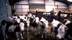 La maladie de la « vache folle » confirmée dans une ferme en Écosse