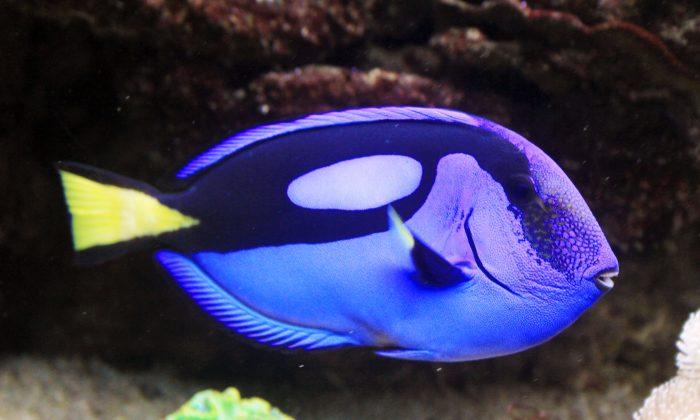 Bonne nouvelle pour Dory: le film ne signifiera probablement pas l'extinction du poisson