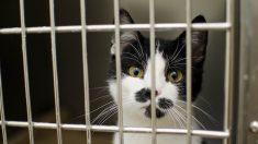 Un maire signe un arrêté pour le piégeage des chats par des chasseurs…