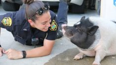 Un cochon perdu se lie d'amitié avec une policière qui répond à l'appel