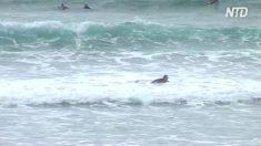 Sur une plage en Australie, un homme a survécu à l'attaque d'un requin en le frappant