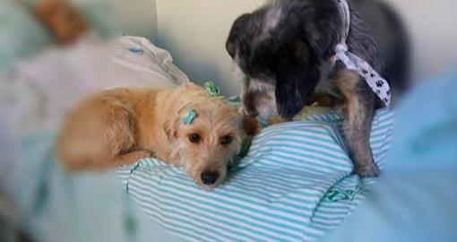Deux chiens loyaux passent des semaines devant un hôpital, espérant revoir leur propriétaire