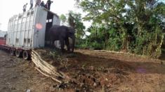 Côte d'Ivoire - Des hommes font tout leur possible pour aider les éléphants