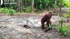 Un orang-outan hilarant fait tout pour attirer l'attention de ses amis alors qu'il découvre une façon intéressante d'utiliser un sac de joute