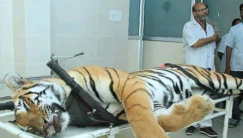 Un tigre mangeur d'hommes difficile à capturer en Inde a été appâté avec de l'eau de Cologne Calvin Klein avant d'être abattu