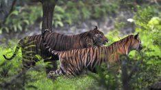 Indonésie: un tigre de Sumatra libéré du sous-sol d'un magasin