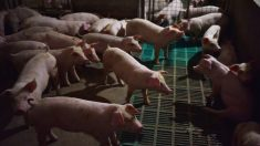 Chine : les autorités sont soupçonnées d'avoir caché une possible propagation de la peste porcine africaine