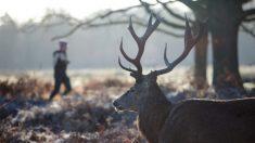 Un chasseur a constaté qu'un cerf portait une deuxième tête sur ses bois