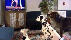 VIDÉO. Quand Donald Trump donne l'ordre de s'asseoir, les chiens devant l'écran lui obéissent