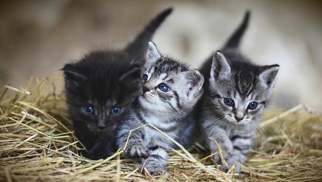 Lac-Saint-Jean (Québec): un tueur en série de chatons démasqué