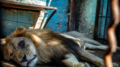 Le Safari Park Zoo ou « zoo de l'enfer » en Albanie a enfin fermé ses portes
