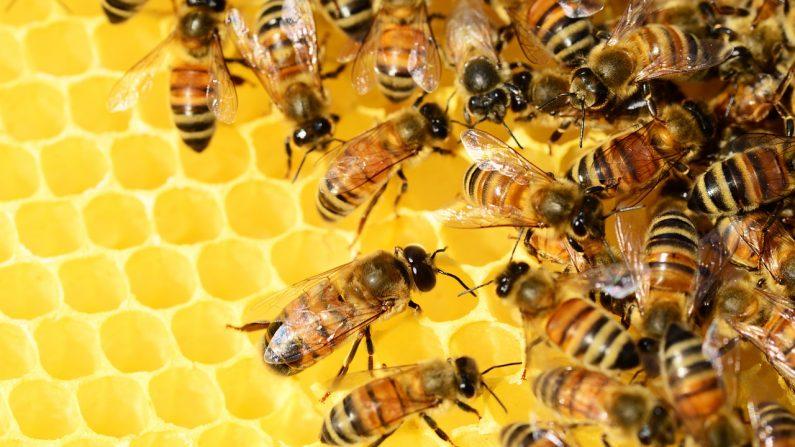 On y est, les abeilles sont officiellement reconnues comme étant en voie de disparition