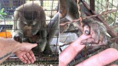 Un macaque solitaire négligé pendant 7 ans dans une minuscule cage, saisit la main d'un sauveteur