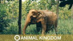 Ces 2 éléphants sont relâchés après 80 ans de captivité