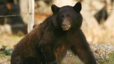 Une femme de Pennsylvanie est dans un état critique après avoir été attaquée par un ours