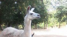 Deux bébés lamas volés dans un parc animalier de la Sarthe
