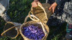 Au Maroc, les producteurs de safran bataillent contre les contrefaçons