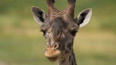 Une girafe meurt au zoo de l'Ohio à la suite d'une rare césarienne, ont déclaré des responsables du zoo