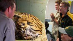 Lors d'une double naissance exceptionnelle, une maman tigre de Sumatra sauve un de ses petits en le léchant