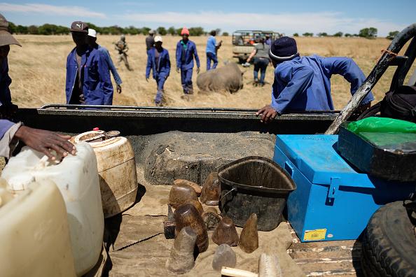 L'Afrique du Sud saisit pour 1,4 million d'euros de cornes de rhinocéros