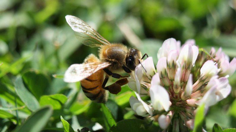 un apiculteur des pyr n es offre des graines de tr fle. Black Bedroom Furniture Sets. Home Design Ideas