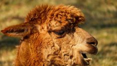 Bretagne : un lama s'invite chez un opticien