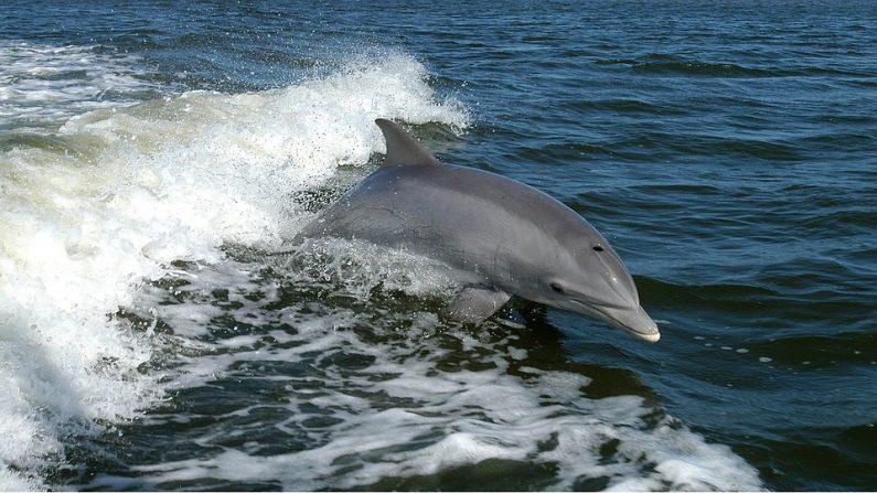 Vidéo: des dauphins accompagnent un surfeur dans la même vague – un instant magique