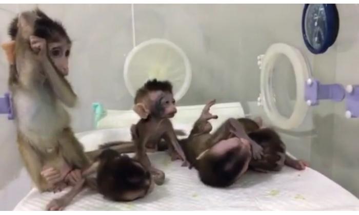 Des bébés singes ont été clonés volontairement avec des troubles génétiques