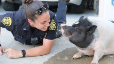 Un cochon perdu se lie d'amitié avec un policier qui répond à l'appel pour un «animal en liberté»