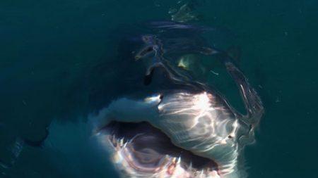 Des plongeurs nagent avec un grand requin blanc appelé «Deep Blue» mesurant un record de 6 mètres de long