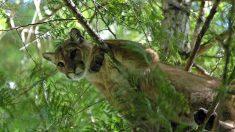 Tuer un puma: la «lutte totale pour la survie» d'un habitant du Colorado