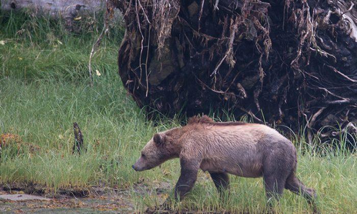 Un ourson noir «méconnaissable» découvert dans une benne à ordures se rétablit incroyablement bien